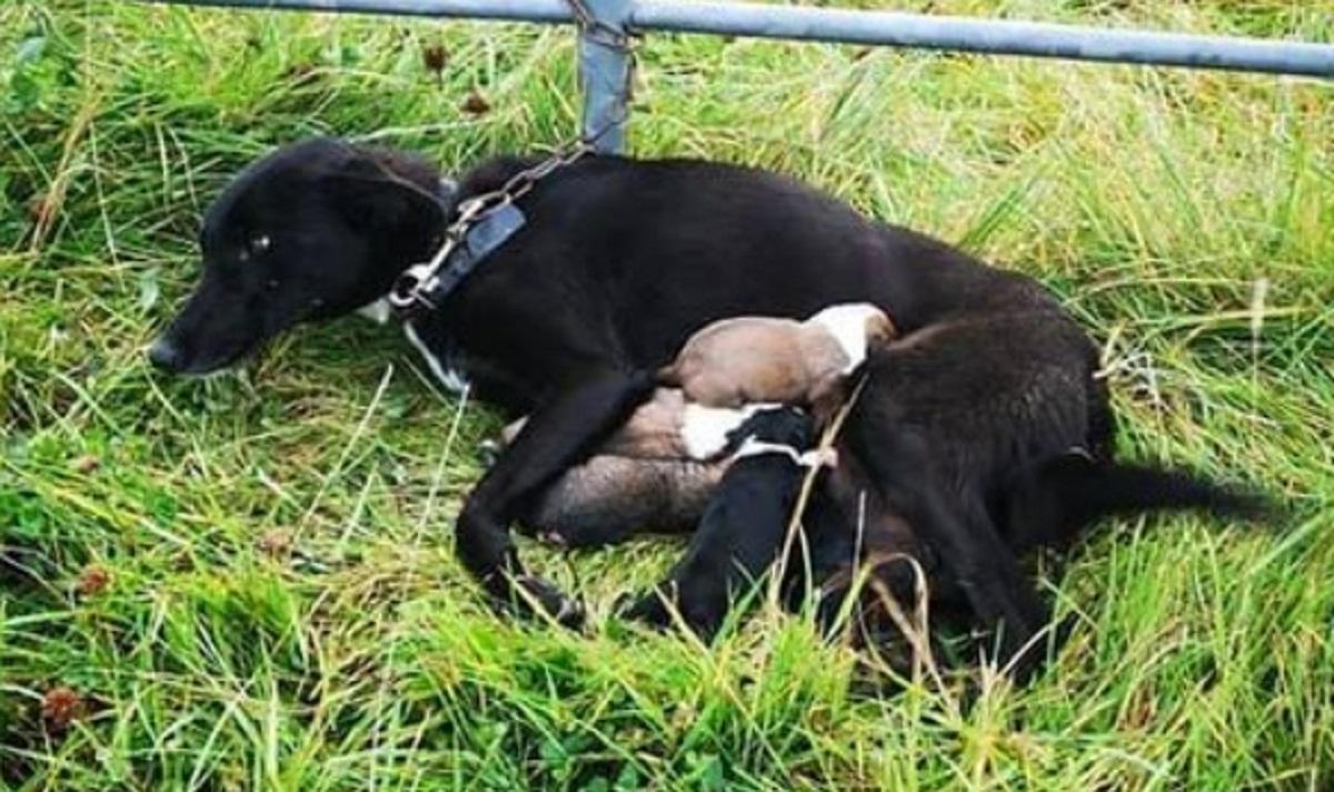 Une chienne allaitant six chiots cruellement enchaînée et abandonnée