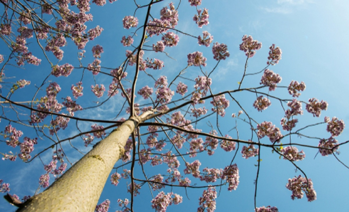 Un arbre très spécial pousse en un temps record et fournit 4 fois plus d'oxygène