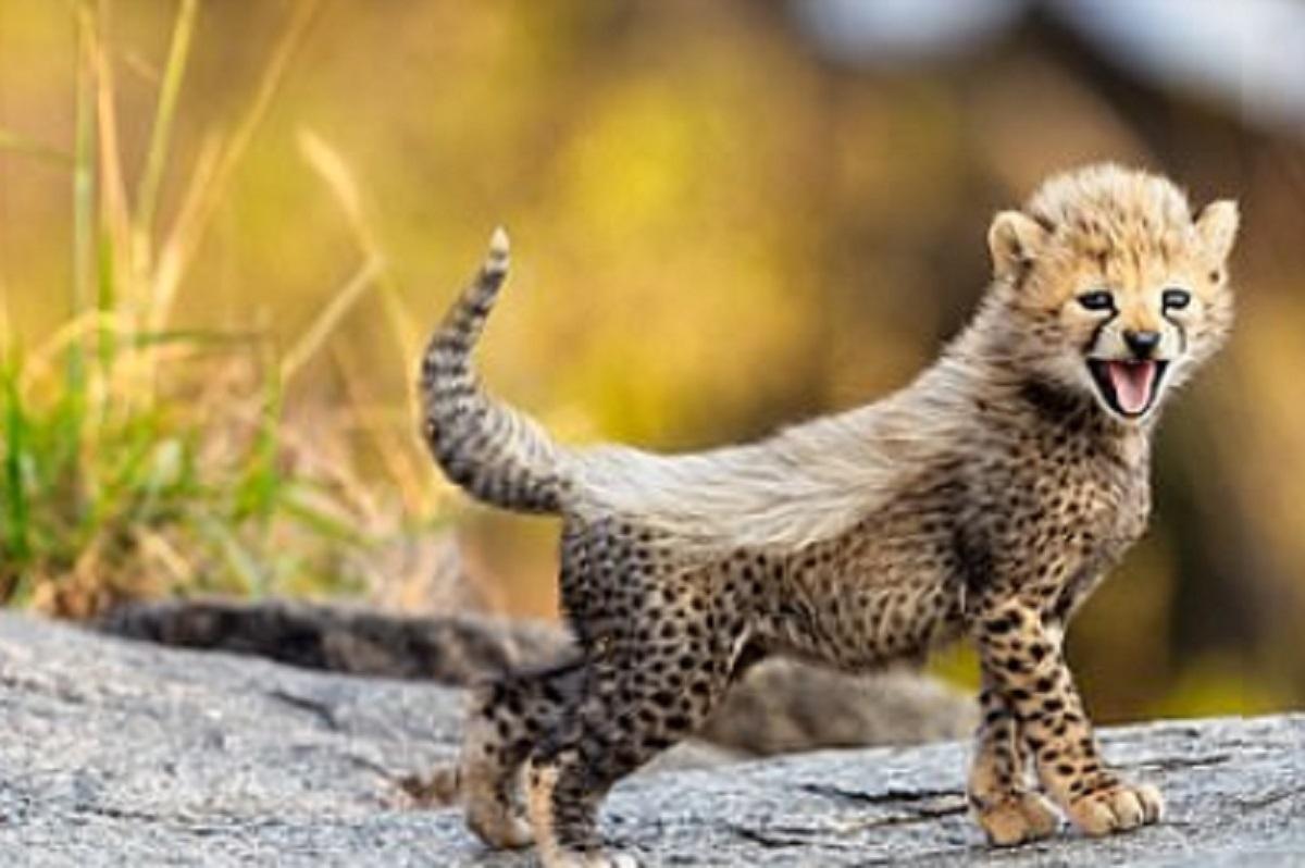 Une magnifique portée de guépards en voie d'extinction redonne espoir sur la survie de l'espèce